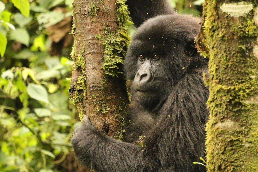 גורילה ביער בטיול לרואנדה