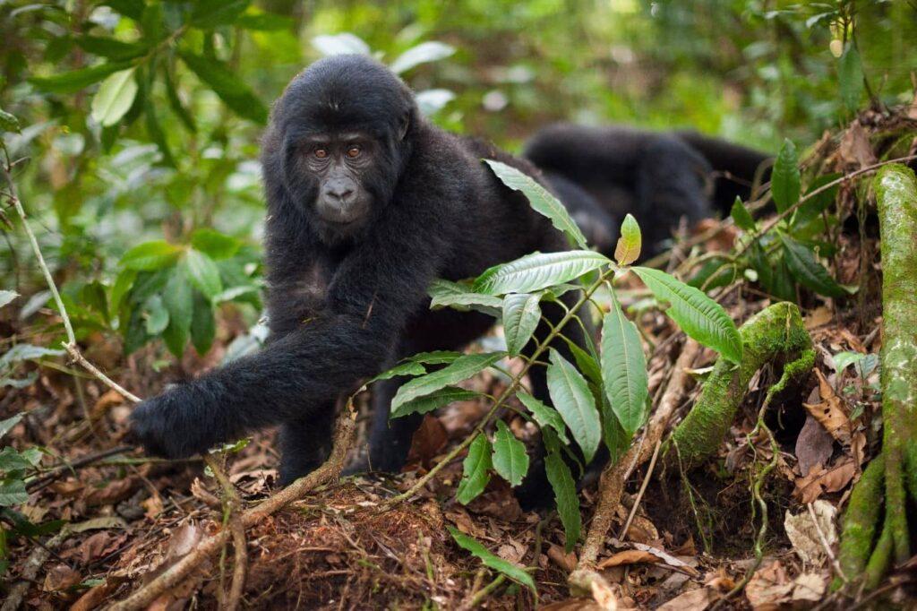 כפר שומרי הגורילה Gorilla Guardians Village טיול גורילות ברואנדה